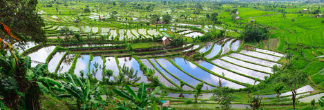 Rice terrace in Bali. Landscape of beautiful rice terraced field full of water at Central Bali Indonesia Royalty Free Stock Photos