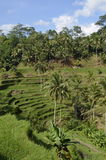 Rice Terrace in Bali Royalty Free Stock Photo