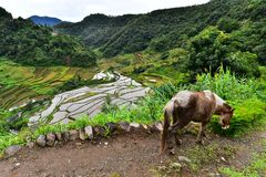 Rice Terraces - Batad, Philippines. Rice Terrace in Batad, Philippines. It is the beautiful scenery which is the UNESCO world heritage. Real life in the province Royalty Free Stock Image