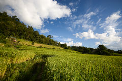Rice terrace with blue sky. Beautiful Rice terrace in Chiang Mai, Thailand royalty free stock images