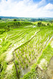 Rice terrace field Royalty Free Stock Photo