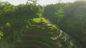Rice terrace field aerial shot, green paddy field in Bali, Indonesia stock video footage