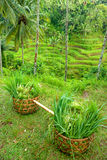 Rice Terrace field, Bali. Stock Images