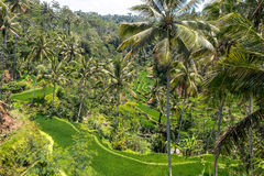 Rice Terrace field, Bali, Indonesia. Royalty Free Stock Images