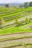 Rice Terrace field  Bali, Indonesia. Stock Photo