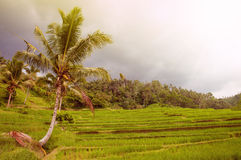 Rice terrace field with palm. Bali, Indonesia. Green fresh rice terrace field with palms and dark clouds after storm. Bali, Indonesia, Asia Stock Photography