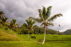 Rice terrace field with palms Stock Photography
