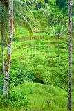 Rice Terrace field, Ubud, Bali, Indonesia. stock image