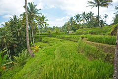 Rice Terrace field, Ubud, Bali, Indonesia. Royalty Free Stock Images
