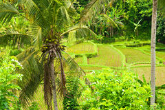 Rice Terrace field, Ubud, Bali, Indonesia. Stock Photos