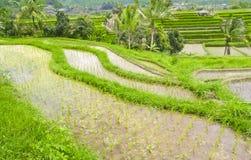 Rice Terrace field, Ubud , Bali Stock Images
