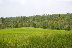 Rice Terrace field, Ubud Bali, Indonesia Royalty Free Stock Images