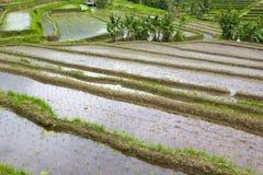 Rice Terrace field, Ubud Bali, Indonesia Stock Images
