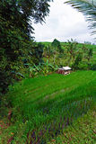 Rice terrace fields, Bali Stock Photos