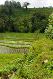 Rice terrace fields, Bali Royalty Free Stock Photography