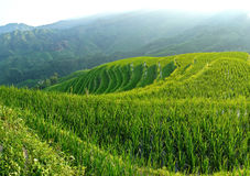 Rice terrace fields Royalty Free Stock Photo