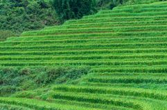 Rice terrace with green rice plant Stock Images