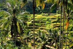 Rice terrace Stock Photos