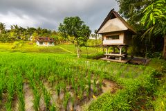 Rice terrace. In Indonesia Stock Photography