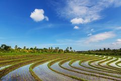 Rice terrace. In Indonesia Royalty Free Stock Photos