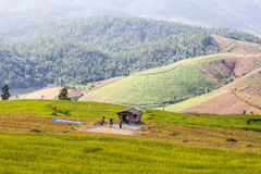 Rice Terrace Stock Images