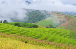 Rice terrace in the morning Royalty Free Stock Images