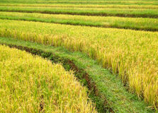 Rice terrace in mountains Royalty Free Stock Photography