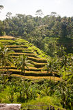 Rice terrace in mountains. Bali. Indonesia Royalty Free Stock Photos