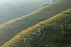 Rice terrace on the moutain in Vietnam. Royalty Free Stock Photo