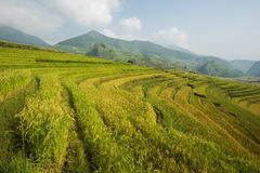 Rice terrace on the moutain in Vietnam. Royalty Free Stock Image