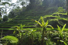 Rice Terrace Paddy Field Royalty Free Stock Images