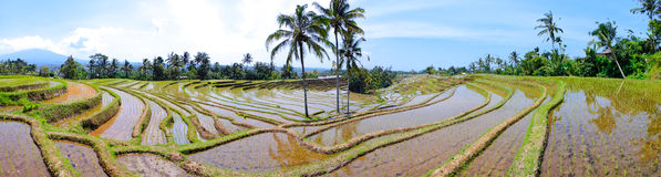 Rice terrace pano Stock Photography