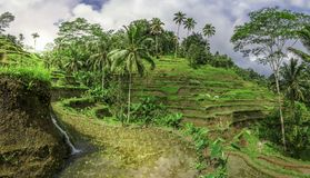 Rice terrace. Field, bali indonesia stock photography