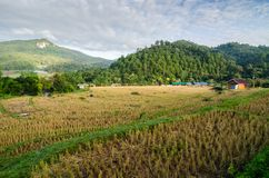 Rice terrace. At the north of Thailand Stock Images