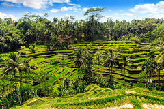 Rice terrace in summer, Bali, Indonesia Royalty Free Stock Photography