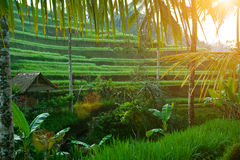 Rice terrace at sunrise Stock Photo