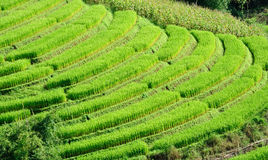 Rice terrace in Thailand Royalty Free Stock Image