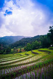 Rice terrace in Thialand Royalty Free Stock Photo