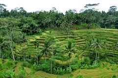 Rice terrace in Ubud, Bali, Indonesia royalty free stock photography