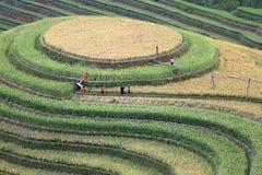 Rice Terrace in Vietnam Stock Photo