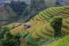 Rice Terrace in Vietnam Royalty Free Stock Photography