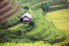 Rice Terrace in Vietnam Royalty Free Stock Images
