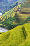 Rice Terrace in Vietnam Stock Images