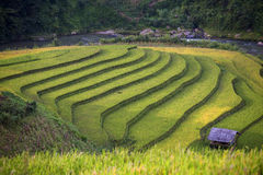 Rice Terrace in Vietnam Stock Image