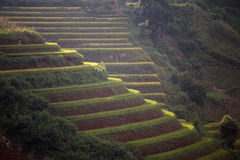Rice Terrace in Vietnam Stock Photo