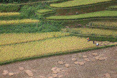 Rice Terrace in Vietnam Royalty Free Stock Photos