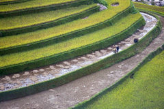 Rice Terrace in Vietnam. 2015 Royalty Free Stock Photo