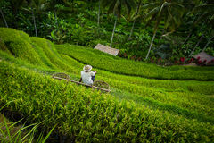Rice terrace worker with baskets Bali Stock Image