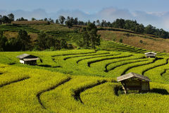 Rice terrace. Yellow and green rice terrace in Maeklangluang village,Chiang mai,Thai land Stock Photo