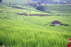 Rice terraced field Royalty Free Stock Photo